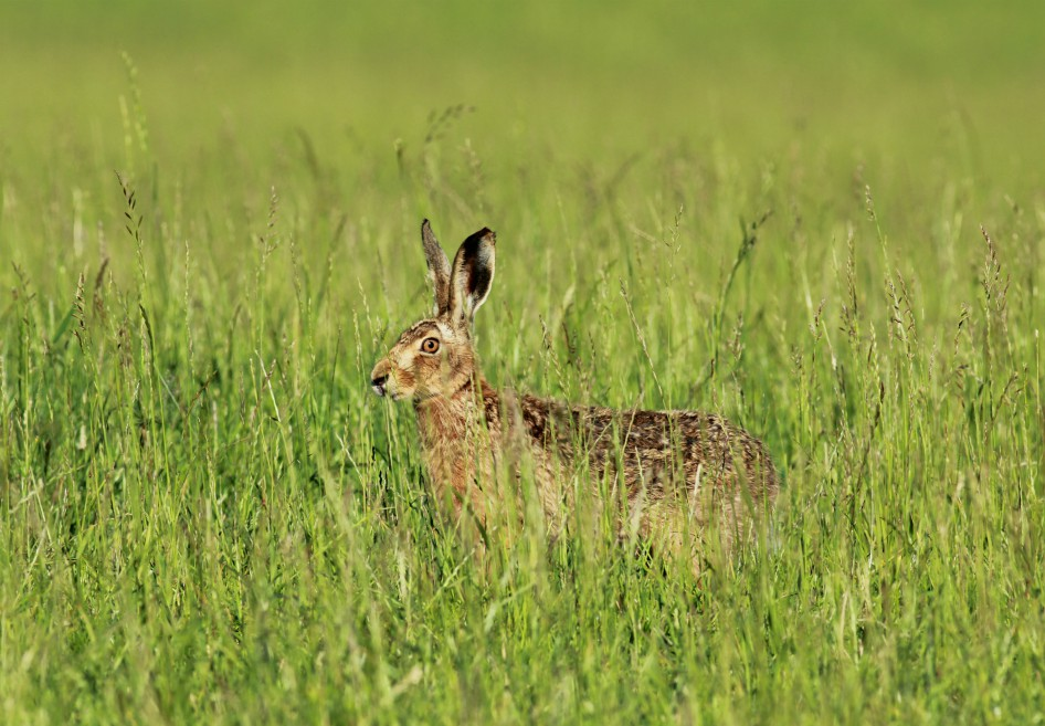 Brown hare, North Yorkshire