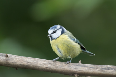 Blue tit, High Batts