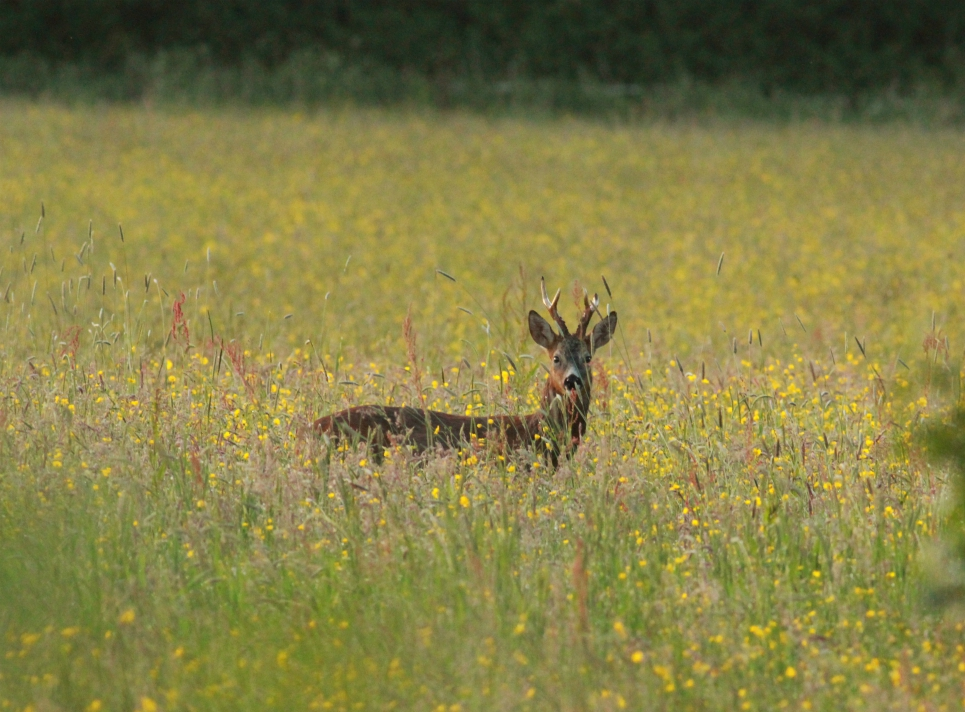 Roe deer, Bilton Lane