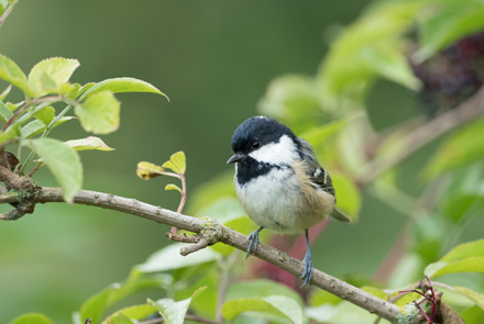Coal tit, High Batts