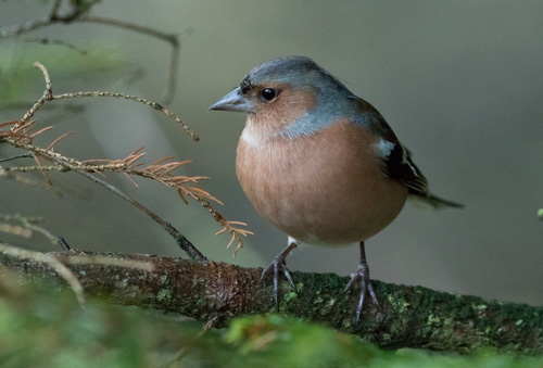 Chaffinch, Yorkshire Dales