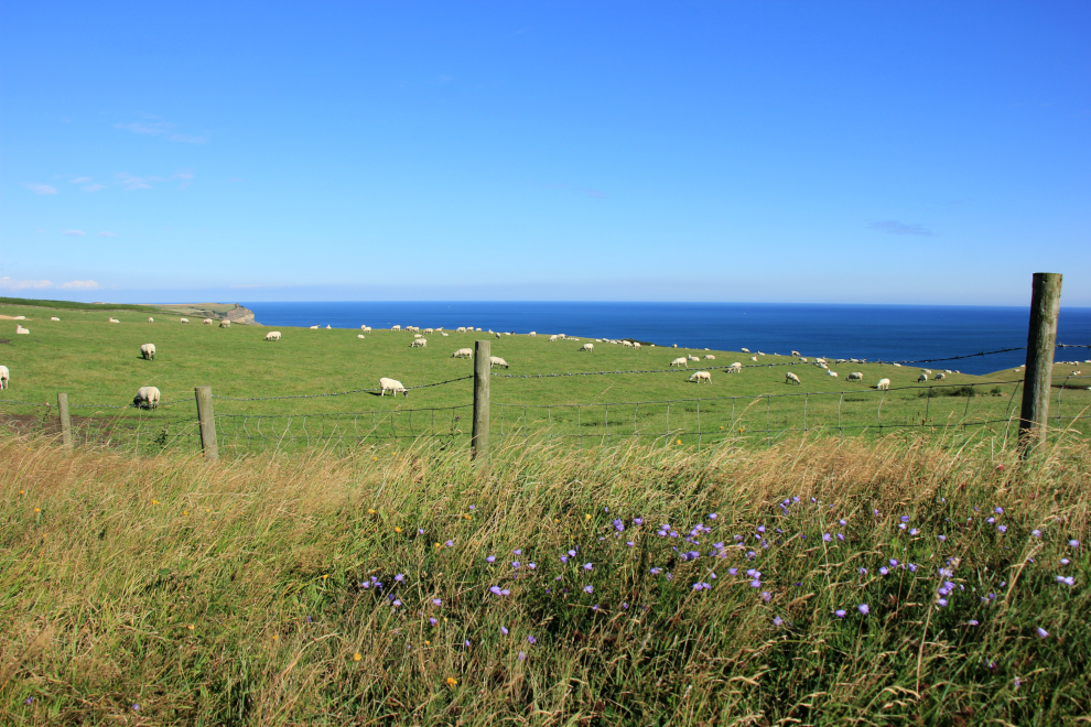 Sheep grazing at Ness Point, near Robin Hood's Bay