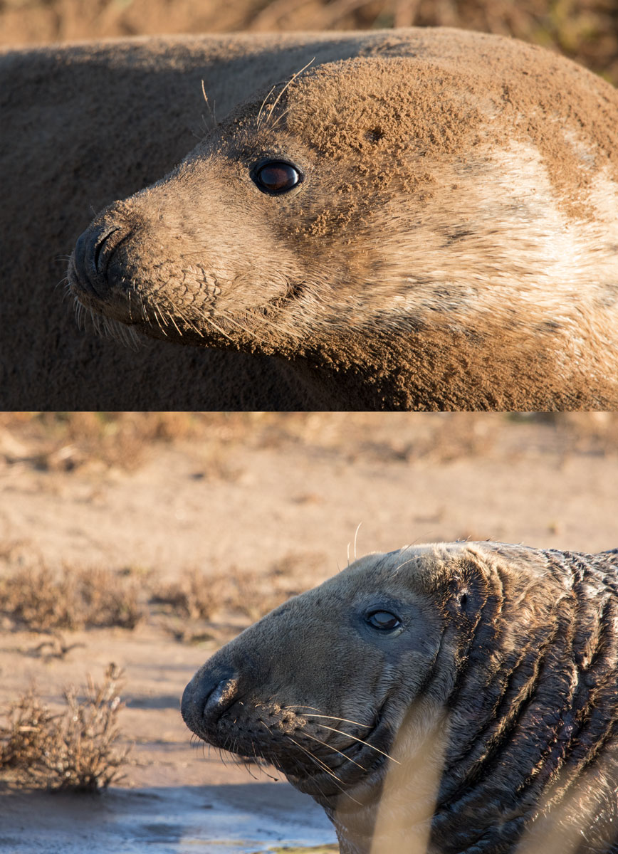 Image showing the difference in shape of face between male and female grey seals