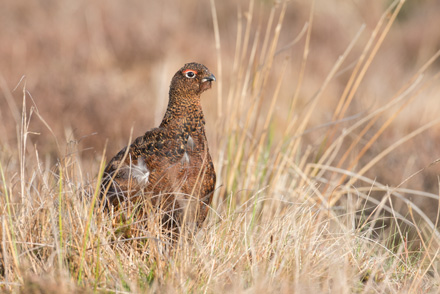 Red grouse, Dallow Moor