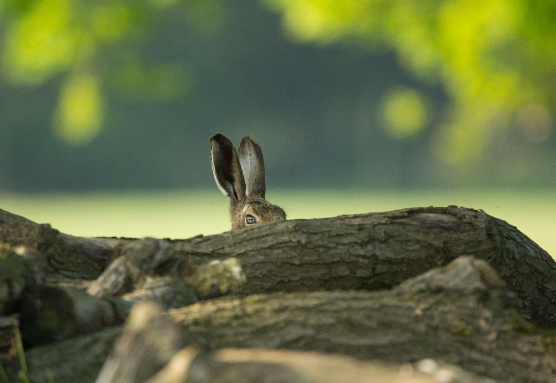 Hare at Studley Royal