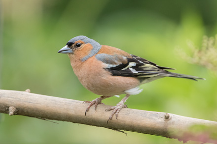 Chaffinch, High Batts