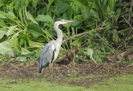 Heron, High Batts