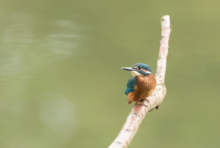 Juvenile kingfisher, High Batts