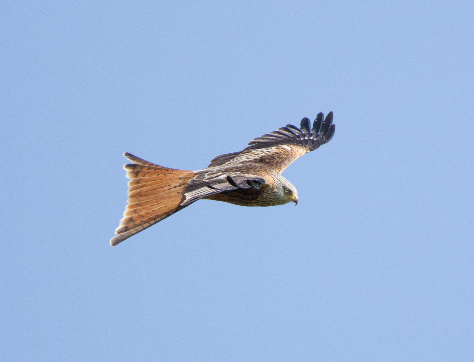 Red kite, Yorkshire Showground