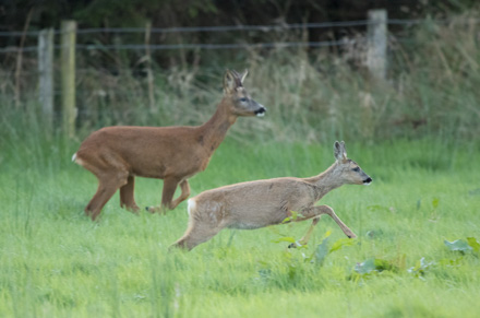 Roe deer, Menwith Hill