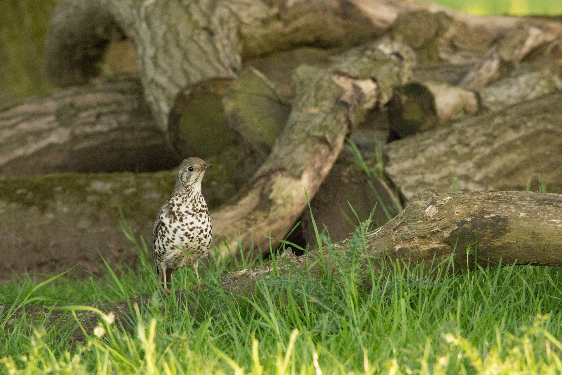 Mistle thrush, Studley Royal