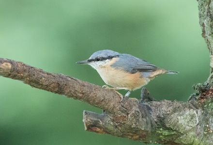 Nuthatch, High Batts