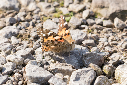 Painted lady, High Batts