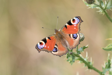 Peacock butterfly, Timble Ings