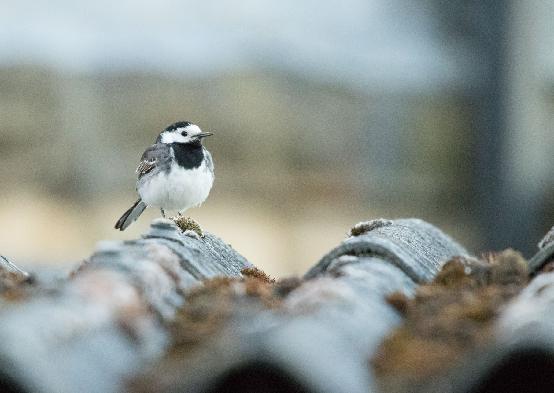 Pied wagtail, Yorkshire