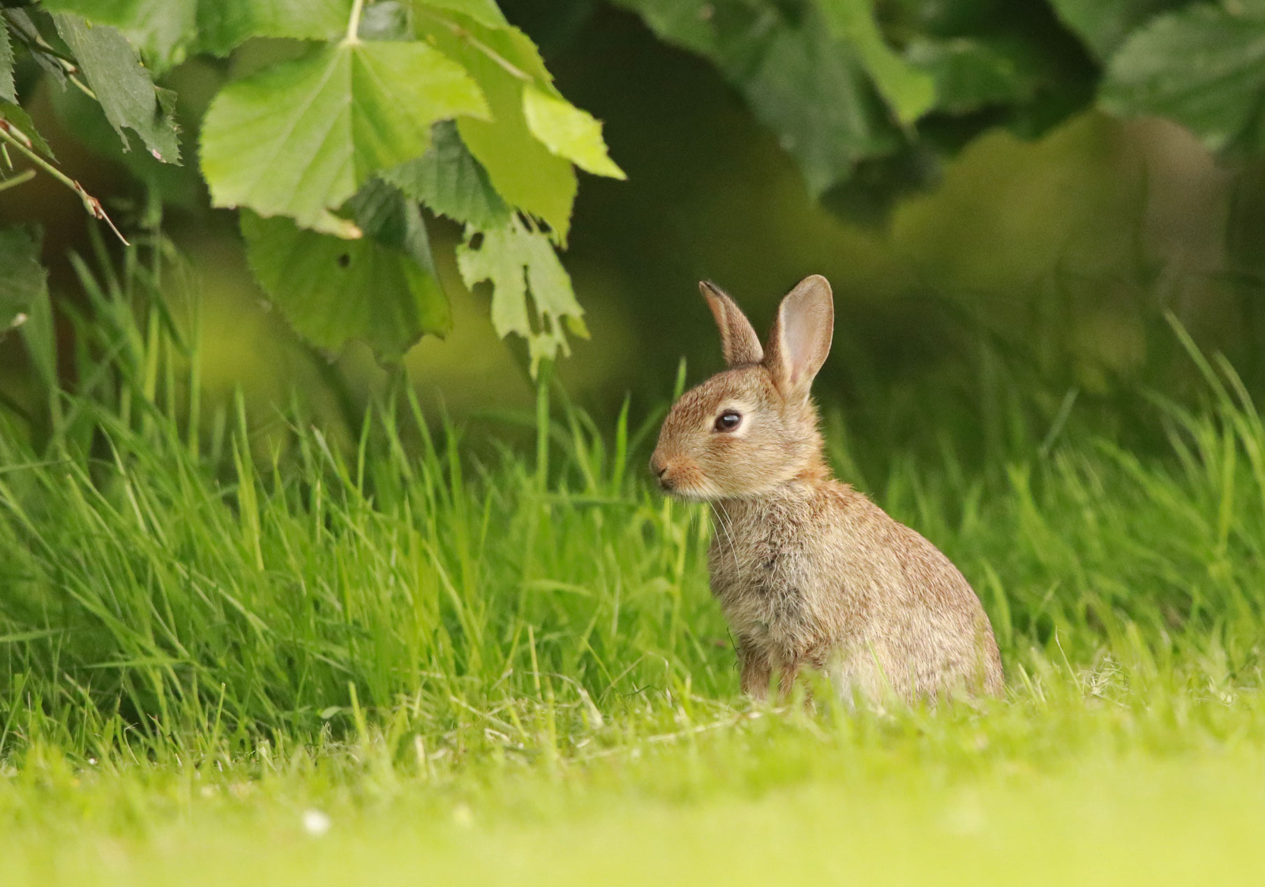 Young rabbit, Harrogate Stray