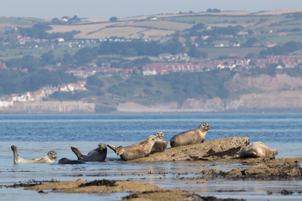 Grey seals, Ravenscar