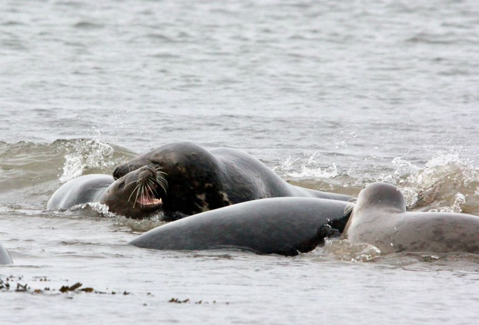 Grey seals play fighting