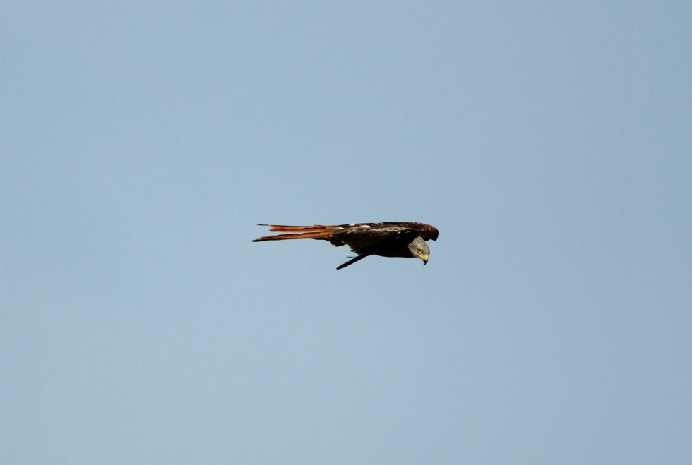 Red kite over the Yorkshire Showground