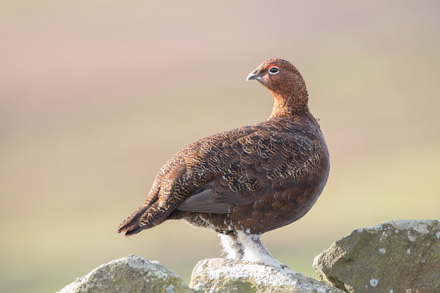 Red grouse, Kex Gill