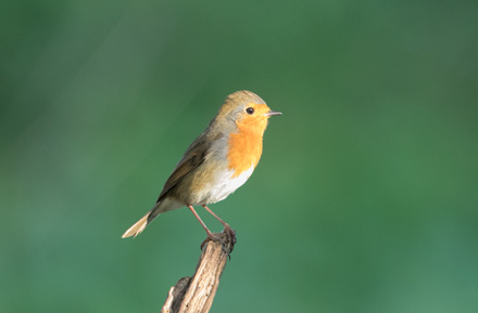 Robin, High Batts