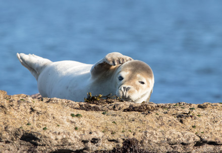 Young grey seal, Ravenscar