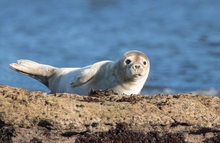 Grey seal, Ravenscar