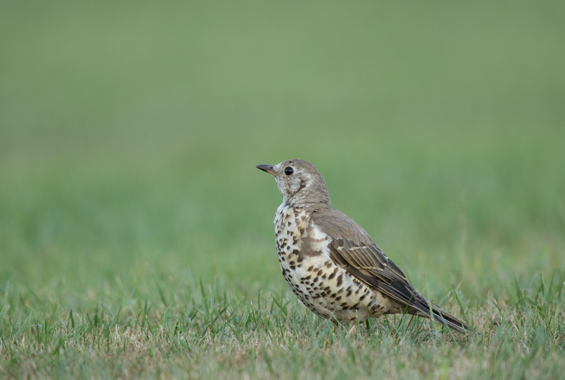 Mistle thrush on Harrogate Stray