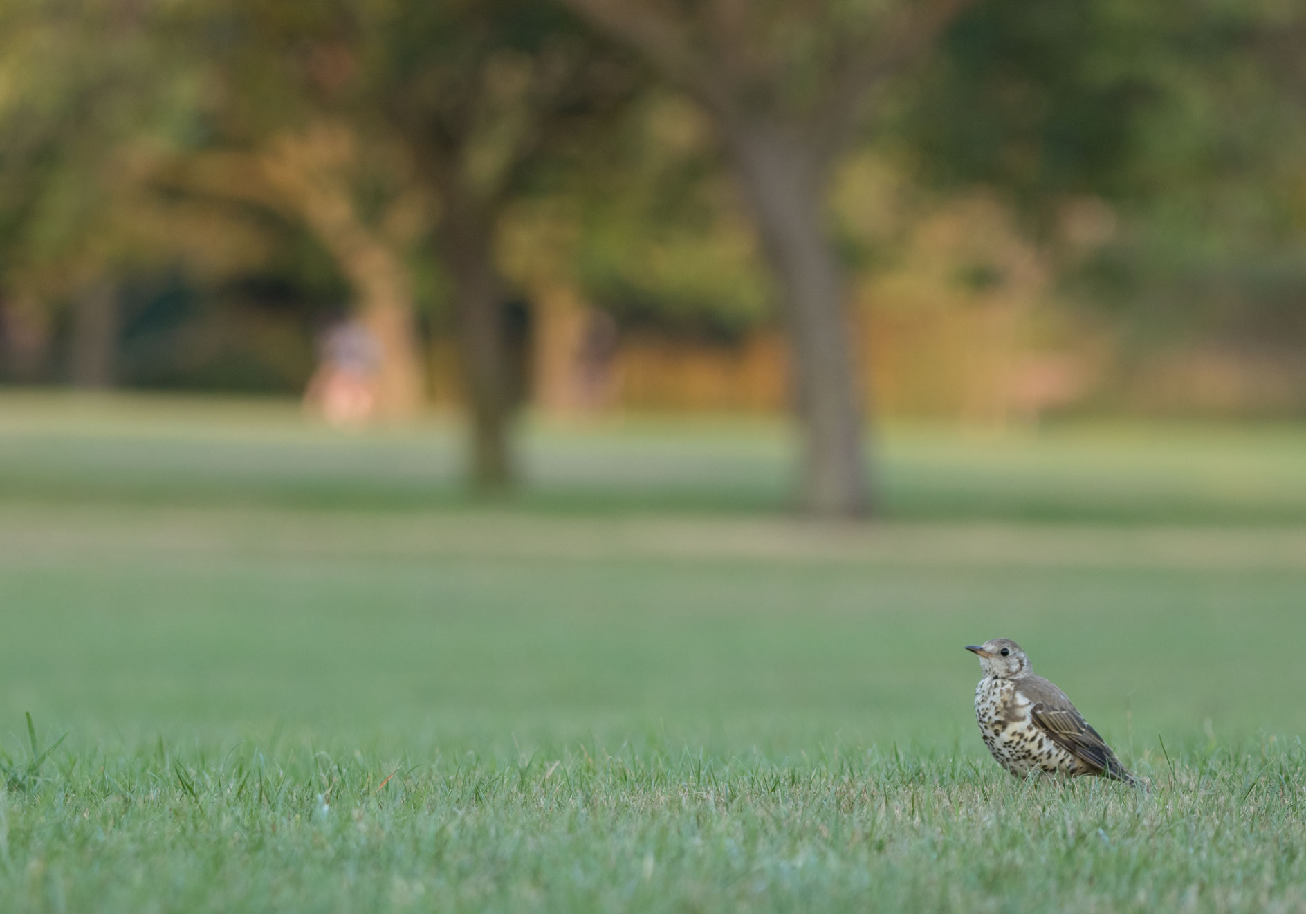 Mistle thrush, Harrogate Stray