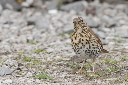 Song thrush, Thruscross