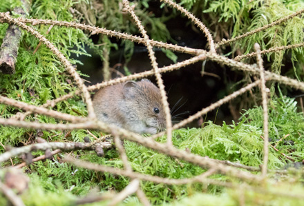 Bank vole, Yorkshire Dales