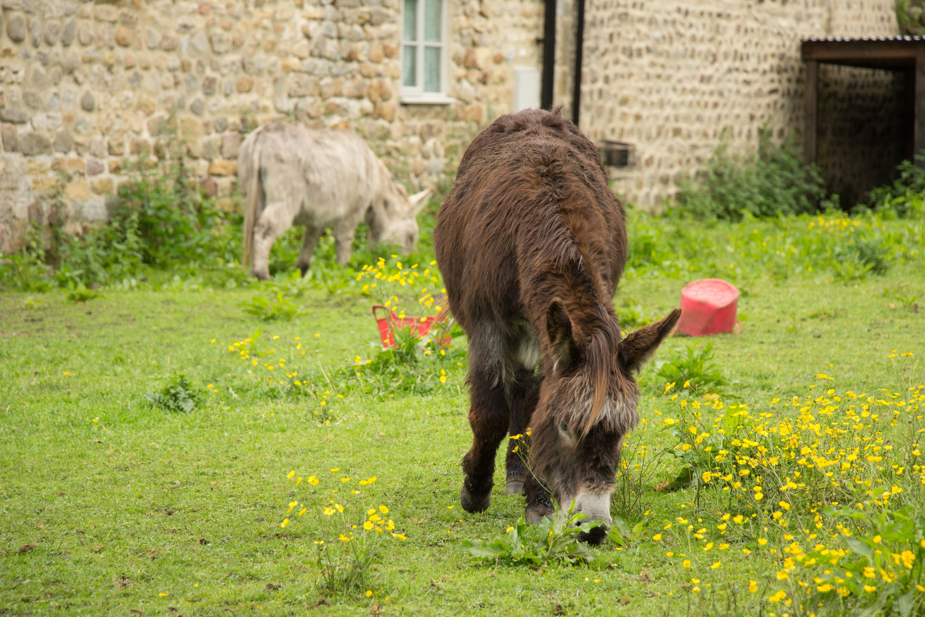 Donkeys at West Tanfield