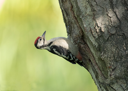 Great Spotted Woodpecker (juvenile), High Batts